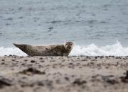 Spættet sæl på øen Düne