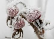 1. `Vinter`: Krystaliseret hybenbær af Karina Jakobsen