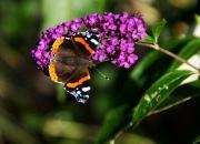 3. Billeder fra haven: `Sommerfuglebusk`af Ejgil Basselbjerg