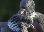 2. Par:`Loving birds`af Kurt Veise