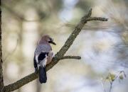 Maj `Skovskade på gren`af Kaj B. Kristensen
