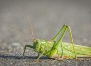 November:`Græshoppe på vej`af Kaj B. Kristensen